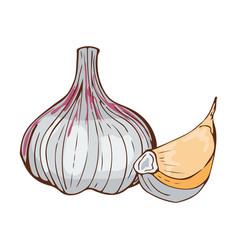 fresh garlic bulb seasoning hand drawn style food vector image vector image