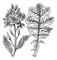 Violet Cabbage vintage engraving vector image