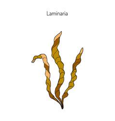 saccharina latissima or kelp vector image