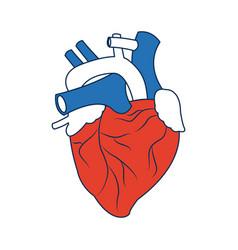human heart medical anatomical artery vector image