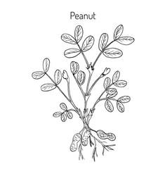 Peanut arachis hypogaea vector