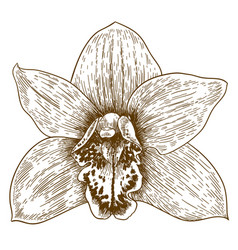 engraving of orchid flover vector image