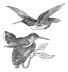 Annas Hummingbird vintage vector image
