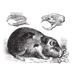 Guinea pig vintage engraving vector