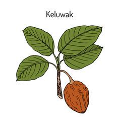 Keluwak pangium edule eatable plant vector