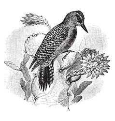 Pitahaya woodpecker vintage vector
