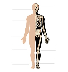 body and skeleton male vector image