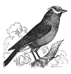 Cedar Waxwing vintage engraving vector image vector image