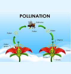 Diagram showing pollination cycle vector