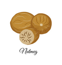 nutmeg isolated on whit vector image