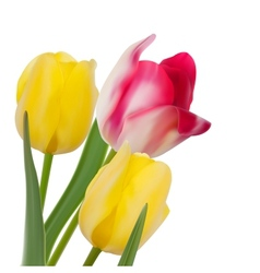 Tulip composition on White Background EPS 10 vector image