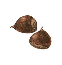 Hand drawn chestnuts vector