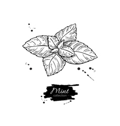 Mint drawing Isolated mint plant and vector image vector image