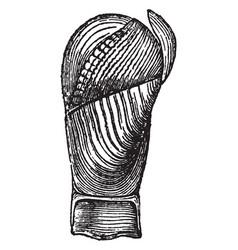 Pholas papyracea vintage vector