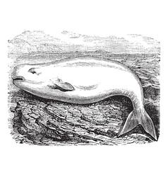 Beluga Whale vintage engraving vector image vector image
