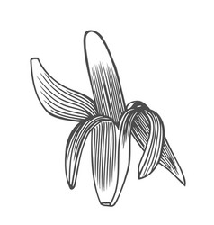 drawing of a peeled banana vector image