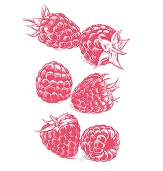 Raspberry drawing Fruit sketch vector image