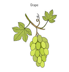 Common grape vine vector