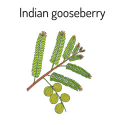 Indian gooseberry phyllanthus emblica or emblic vector