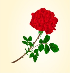 Red rose stem with leaves and blossoms vector image
