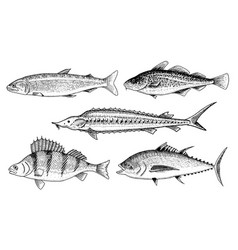 River and lake fish perch or bass scomber or vector
