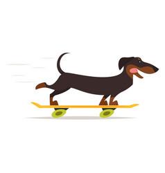 dachshund dog riding skateboard vector image