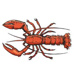 sketch of lobster vector image