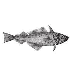 Haddock vintage engraving vector image