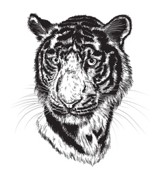 Sketch of a tigers face vector