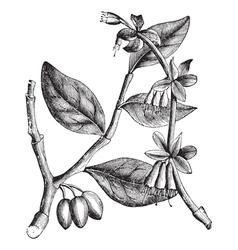 Eastern Leatherwood vintage vector image vector image