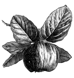 Quince vintage engraving vector image vector image