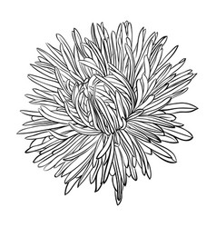 Beautiful monochrome black and white aster flower vector