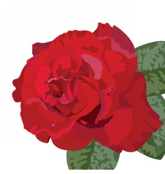 Delicate Red Rose isolated vector image