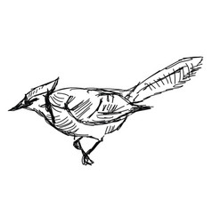 Jay bird on white background vector