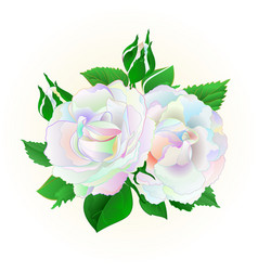 two multicolored roses on a white background vector image