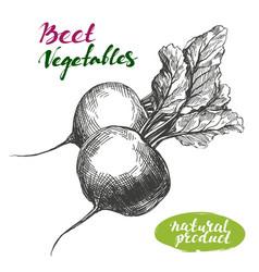 beet vegetable set detailed engraved vintage vector image vector image