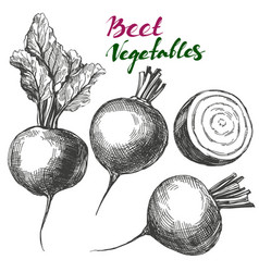 beet vegetable set detailed engraved vintage vector image