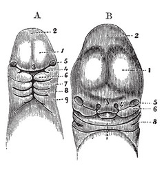 head of an embryo vintage vector image