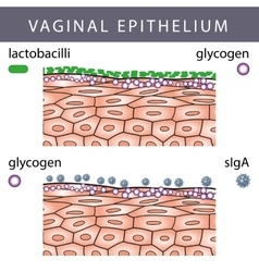 Vaginal Epithelium with Glycogen vector image