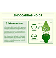 Endocannabinoids horizontal infographic vector