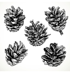 Sketch drawing pine cones on white background vector image vector image