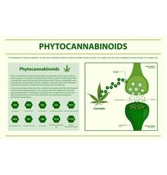 Phytocannabinoids horizontal infographic vector