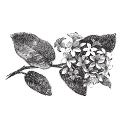 Mayflower vintage engraving vector image
