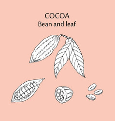 Cocoa bean and leaf vector