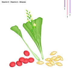 Chinese Flowering Cabbage with Vitamin K and A vector