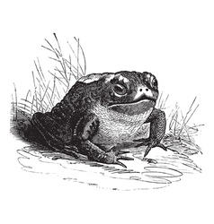 Common Toad vintage engraving vector image vector image