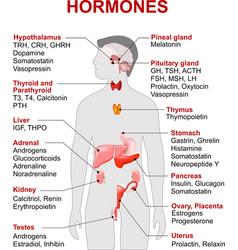 hormones vector image