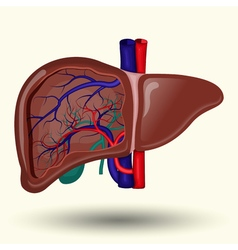 Human liver cartoon vector