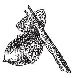 Yellow oak acorn vintage vector