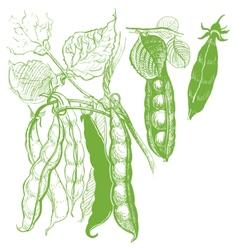 Peas vegetable vintage drawing vector image